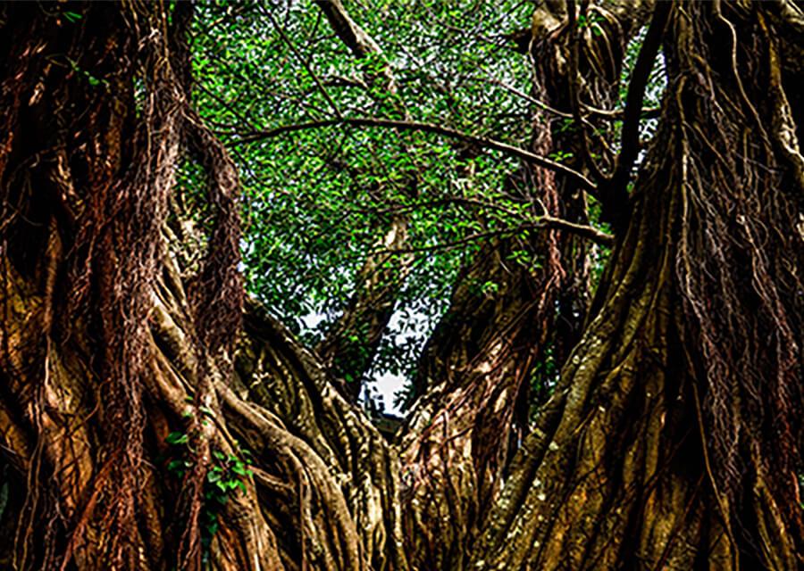 アコウの巨樹